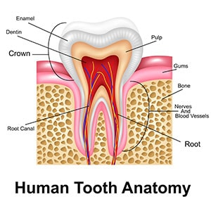 The human tooth anatomy to breakdown what to expect with a root canal